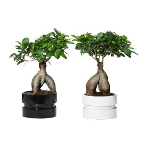 9,99Euro.ficus-microcarpa-ginseng-pianta-con-vaso-colori-vari__0213705_PE369263_S4